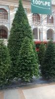 Большая елка Русская красавица премиум